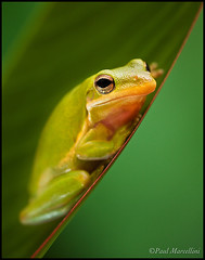 Little Green Tree Frog