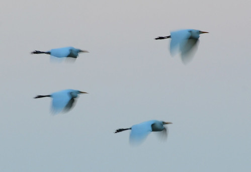 cattle egrets motion blur