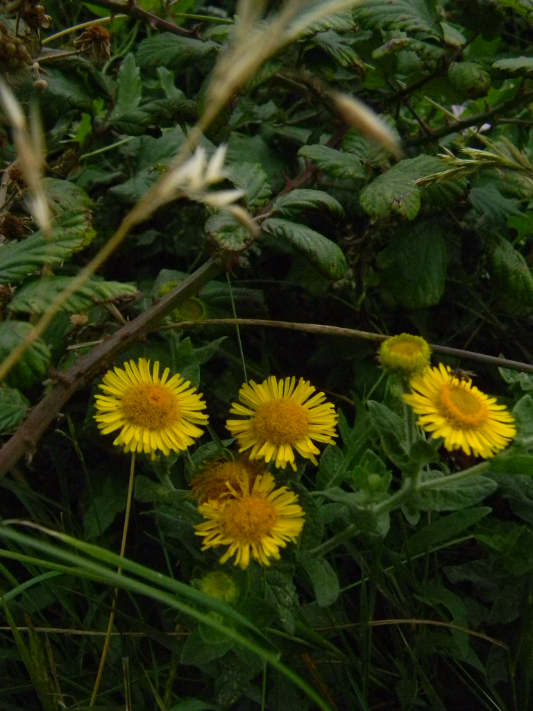 Fleabane Seaford to Eastbourne
