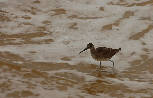 shorebird II