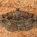 Small photo of Mottled Beauty. Alcis r. repandata