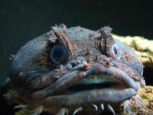 Oyster Toadfish, New York Aquarium