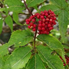 evergreen, berry, leaf, plant, fruit, hawthorn,