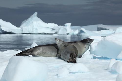 Crabeater Seals in Pléneau Bay, Antarctica