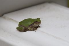20110819 - Grey Tree Frog Metamorphosing
