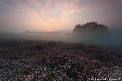 sunrise geotagged purple heather photoblog bloom posbank heide bloei herikhuizen geo:lat=5202255420 geo:lon=602629600