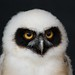 Small photo of Phyllis the Spectacled Owl