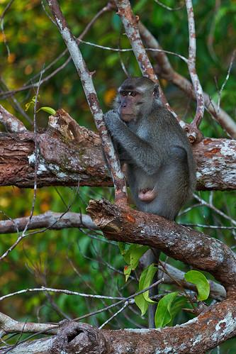 Long-tailed macaque (Macaca fascicularis) Krabbmakak
