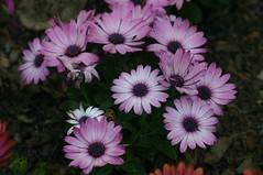 garden cosmos(0.0), macro photography(0.0), dorotheanthus bellidiformis(1.0), annual plant(1.0), flower(1.0), purple(1.0), plant(1.0), marguerite daisy(1.0), daisy(1.0), flora(1.0), daisy(1.0), petal(1.0),