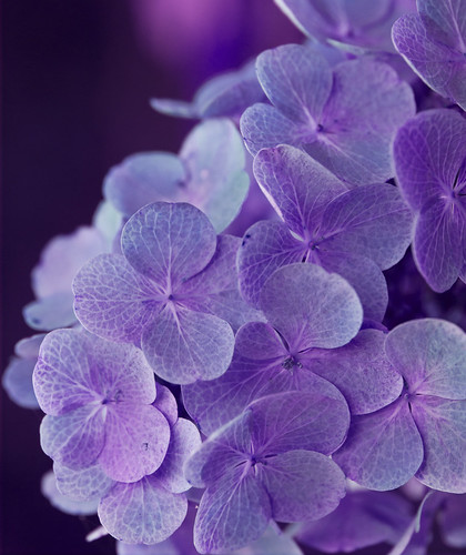 Violet 2 by Alida's Photos