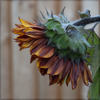 238/365 Disappointed sunflower
