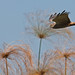 Small photo of African marsh harrier