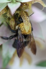 Solitary Bee on Monarda punctata
