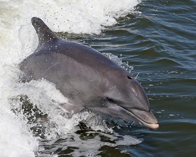 Day 254: Bottlenose Dolphin