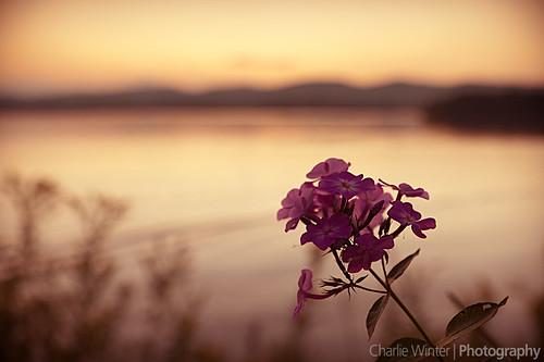 sunset flower unitedstates massachusetts lakepontoosuc