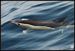 Common Dolphin II