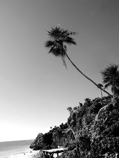 Akumal Lone Palm