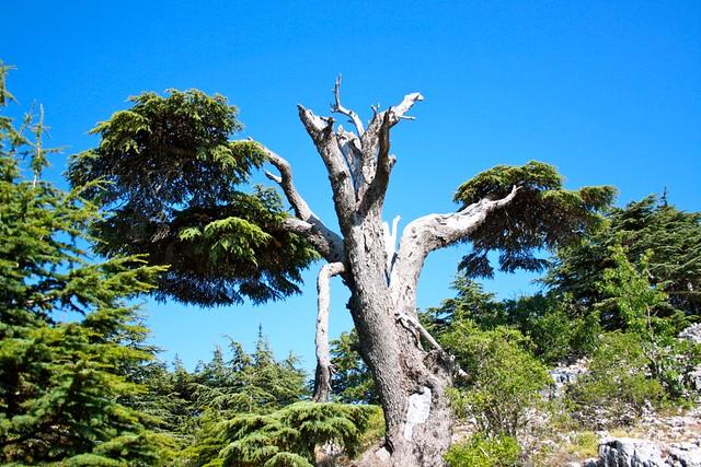 C dre du liban flickr photo sharing - Cedre bleu du liban ...
