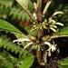 Cyanea floribunda