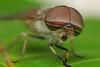 Wonderful horsefly by Nikola Rahme