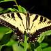 Pretty Tiger swallowtail!!!