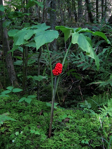 Jack in the pulpit fruit, Arisaema triphyllum