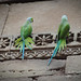 Parrots on the walls