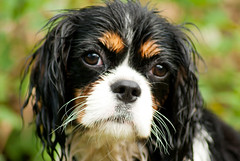 phalã¨ne(0.0), dog breed(1.0), animal(1.0), dog(1.0), pet(1.0), king charles spaniel(1.0), spaniel(1.0), cavalier king charles spaniel(1.0), carnivoran(1.0),