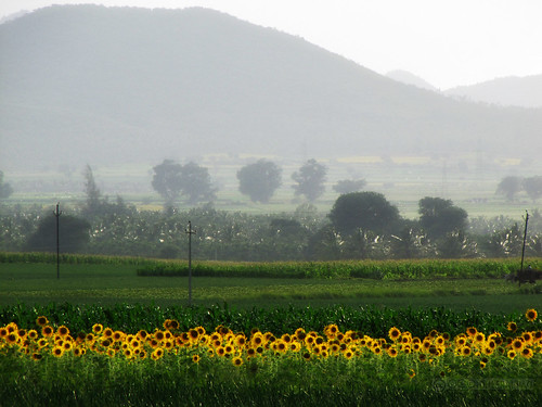 field landscape photography scenery hills sunflower