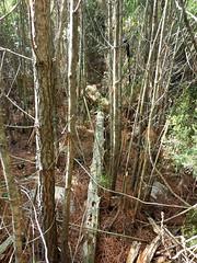 Trace dans les bois de pins de Cuperchjata