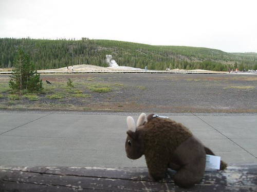 Buddy Bison  waiting for Old Faithful to erupt in Yellowstone National Park.