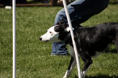 border collie(0.0), hound(0.0), greyhound(0.0), dog sports(1.0), animal sports(1.0), dog breed(1.0), animal(1.0), silken windhound(1.0), dog(1.0), saluki(1.0), sports(1.0), pet(1.0), mammal(1.0), conformation show(1.0),