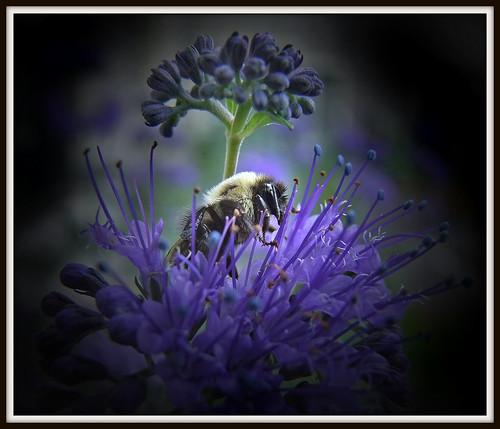 ohio cleveland bumblebee bombus bluebeard kirtland holdenarboretum cooperbuildinglandscape caryopterisxclandonensisdarkknight remembertobefree