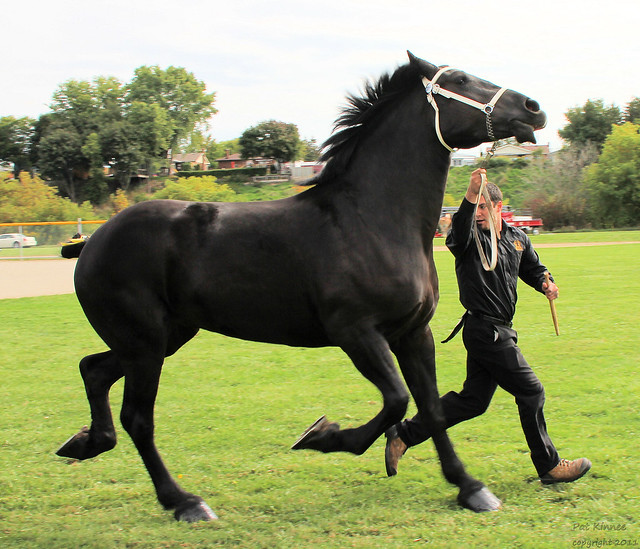 Black percheron horses - photo#22
