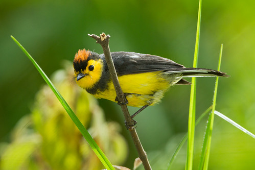 Collared Redstart | by Seth Patterson