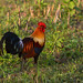Red Jungle Fowl (Raghu Kulkarni)