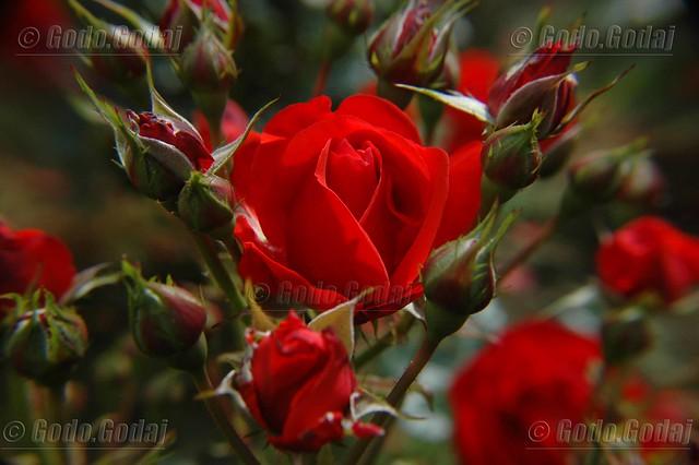 Tr 235 Ndafila T 235 Kuq Red Roses Flickr Photo Sharing