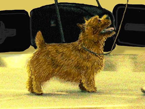 R T Pointer Norwich Norwich Terrier – No...