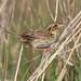 Small photo of Henslow's Sparrow (Ammodramus henslowii)