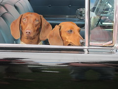 hound(0.0), animal(1.0), dog(1.0), pet(1.0), mammal(1.0), vizsla(1.0),