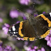 Red Admiral On Heather, Godlingston Heath