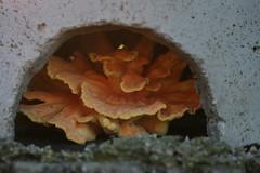 Chicken of the Woods - Wild Mushroom