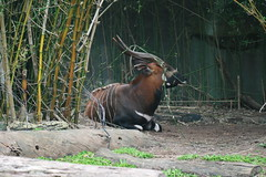 animal(1.0), antelope(1.0), zoo(1.0), mammal(1.0), horn(1.0), fauna(1.0), kudu(1.0), bongo(1.0), wildlife(1.0),