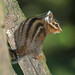 Allen's Chipmunk - Photo (c) Greg Schechter, some rights reserved (CC BY)