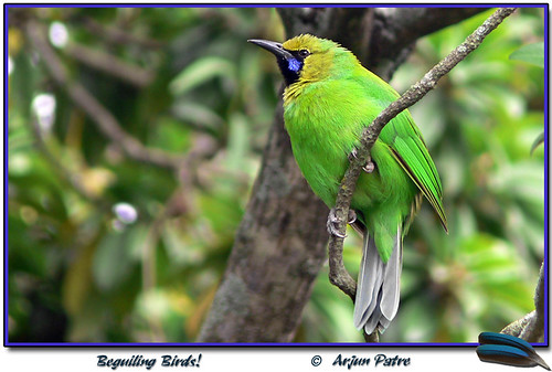 """ Blue-winged Leafbird """