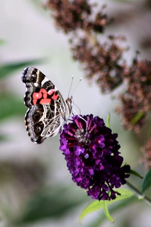 American painted lady_6661