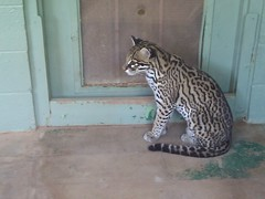 jaguar(0.0), animal(1.0), bengal(1.0), small to medium-sized cats(1.0), pet(1.0), mammal(1.0), fauna(1.0), cat(1.0), ocelot(1.0),