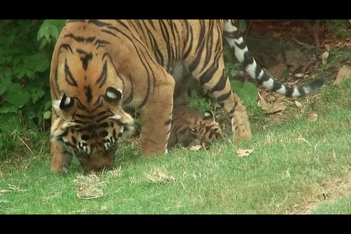 Sumatrian Tiger Cubs - Finally outside