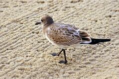 The Brown Gull