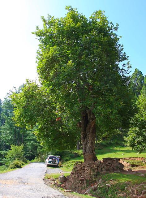 Chinar tree, platanus orientalis about thirty years old near Danna village, Kashmir